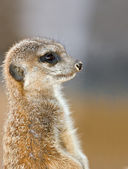 Meerkat on guard — Stock Photo