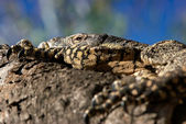 Resting goanna — Stock Photo