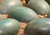 Emu eggs — Stock Photo