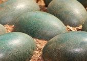 Emu eggs — Stock Photo
