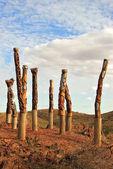 Aboriginal poles — Stock Photo