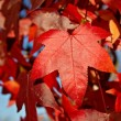 Red autumn leaf - Stock Photo