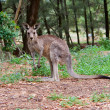 Kangaroo — Stock Photo #2063787