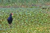 Water hen in wetlands — Stock Photo