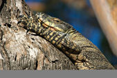 Goanna in tree — Stockfoto
