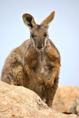 Yellow footed rock wallaby — Stock Photo