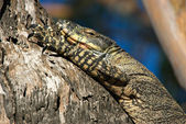 Goanna in tree — 图库照片