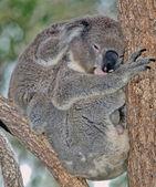 Mother and baby koala — Stock Photo