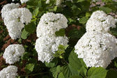 White flower with green foliage — Stock Photo