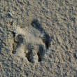 Stock Photo: Animal`s footstamp.