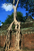Ancient tree in Angkor Ta Phrom — Stock Photo