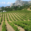 Stock Photo: Crimea, vineyard
