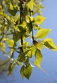 Nuevas ramas frescas — Foto de Stock