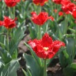 Red tulips — Stock Photo #1224089