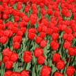 Red tulips — Stock Photo #1224263