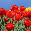Red tulips — Stock Photo #1224493