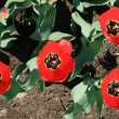 Red tulips — Stock Photo #1224602