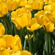 Yellow tulips — Stock Photo #1224958