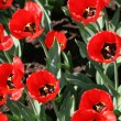 Red tulips — Stock Photo #1225089