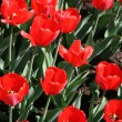 Red tulips — Stock Photo #1225196