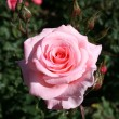 Rose — Stock Photo #1278864