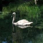 Swan — Stock Photo #1281173