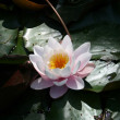 Water lily — Stock Photo #1281209
