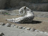 Tiger - albino — Stock Photo