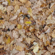 Stock Photo: Oak leaves
