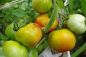 Harvest tomatoes — Stock Photo