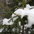 Snow on spruce branches — Photo