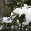 Snow on spruce branches — Stock Photo #1281317