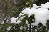 Snow on spruce branches — Stock Photo
