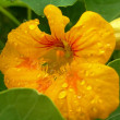 Flowers of nasturtium — Stock Photo