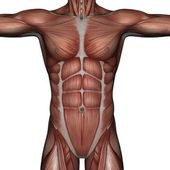 3D muscle of man — Stock Photo