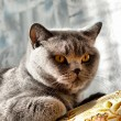 Royalty-Free Stock Photo: British cat