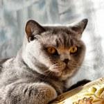 British cat — Stock Photo