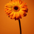 Royalty-Free Stock Photo: Orange daisy