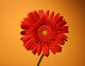 African red daisy — Stock Photo