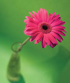 Pink African daisy — Stock Photo