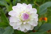 Dahlia white pink — Stock Photo