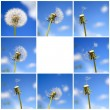 Beautiful dandelion collage — Stockfoto