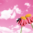 Camomiles beautiful on pink sky - Stock Photo
