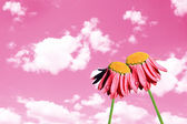 Camomiles beautiful on pink sky — Stock Photo