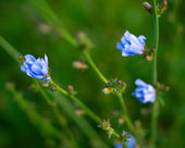 Blue flowers of the chicory — Stock Photo