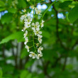 Royalty-Free Stock Photo: Blossoming bird cherry