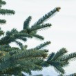 Branches of a young furtree — Stock Photo #1059286