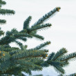 Branches of a young furtree — Stock Photo