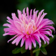 Pink aster — Stock Photo #1069352