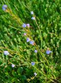 Chicory — Stock Photo